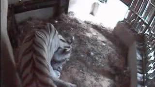 ZOO Liberec - tygrata online 12.07.2012 (stáří 12 dnů) /The white tiger cubs (12 days old)