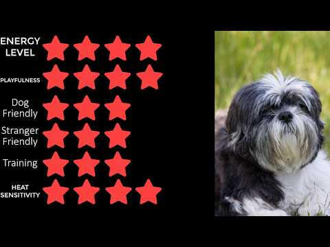 Dog Breeds   Affenpinscher   Affen Affie or Monkey Dog
