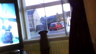 Ozzy The Border Terrier Barking At A Cat