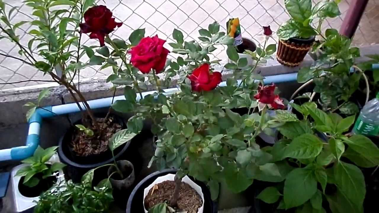 my home garden with the red rose plant as a new member 8 12 13 youtube. Black Bedroom Furniture Sets. Home Design Ideas
