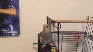 "Cockatiel lip-syncing ""Dilemma"" by Nelly & Kelly"