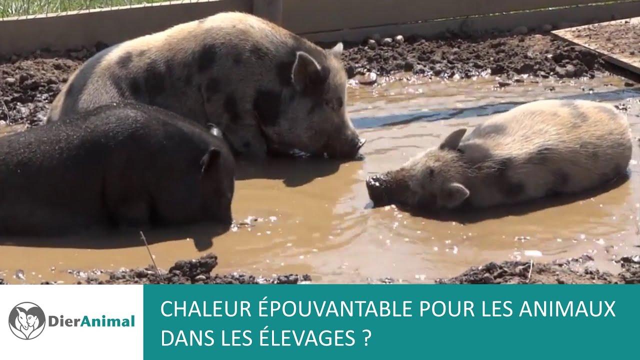 DierAnimal: Chaleur épouvantable pour les animaux dans les élevages?