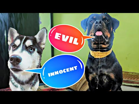 Rottweiler vs Husky who can beat this challenge🤔Dog Can Talk part 68. Review reloaded.Roxy vs cheeni