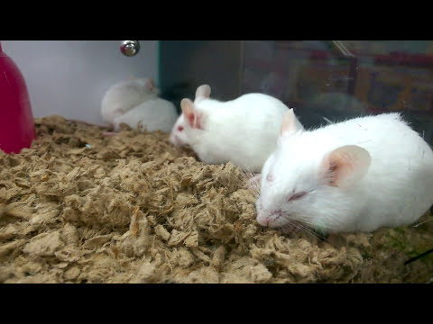 White Mice from Pet Store