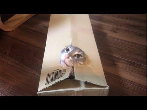 ダンボールから飛び出す猫 ノルウェージャンフォレストキャット Cats jumping out of cardboard