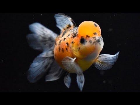 3 Goldfish Beginners Should AVOID!
