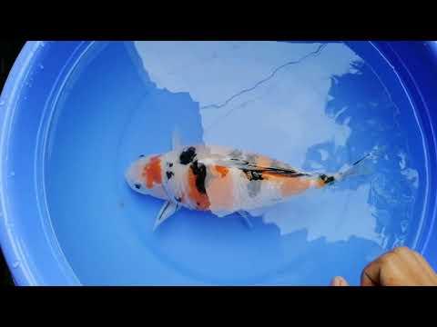 Cá Koi Bệnh Xù Vảy
