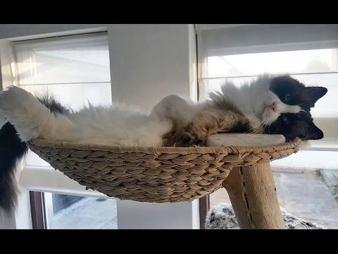 Timo the Ragdoll Cat loves his new cat tree