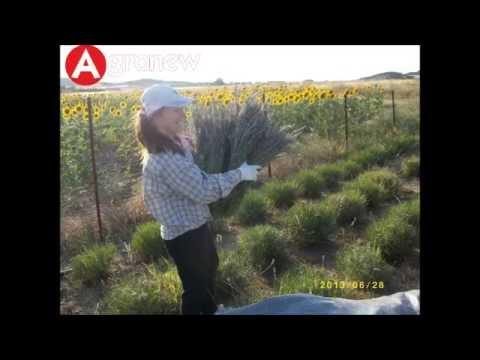 Καλλιέργεια Λεβάντας από την AGRONEW