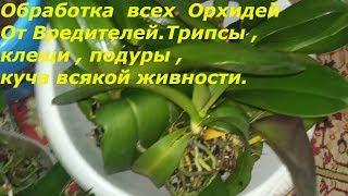 Тотальная обработка всех орхидей.Трипсы и панцирные клещи и т.д.Зеленое мыло.Фитоверм.