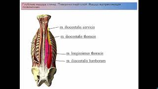 Мышцы и фасции спины классификация строение функции кровоснабжение иннервация