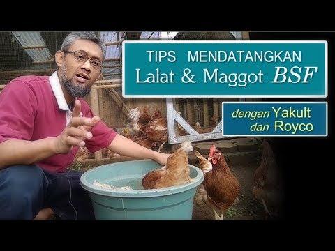 Tips Mendatangkan Maggot BSF Bersih Dengan Yakult Dan Royco