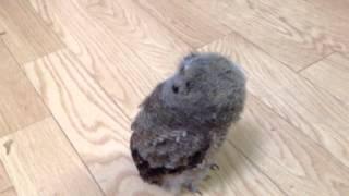 なんとも可愛い、首振りダンスのスピックスコノハズクの幼鳥です。 フク...