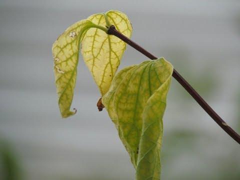 Почему ОПАДАЮТ ЛИСТЬЯ у комнатных растений | Что делать? | Причины опадения