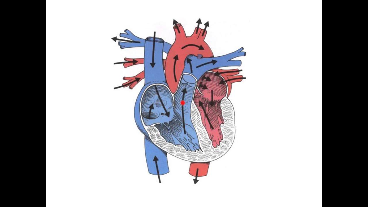 Anatomie et fonctions du coeur humain YouTube