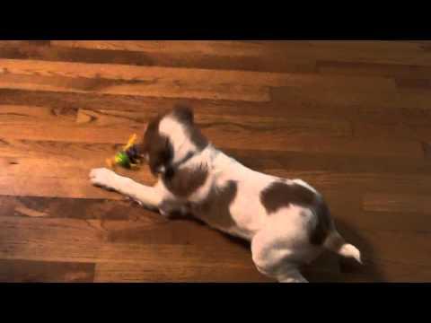 Crazy Brittany Spaniel Puppy