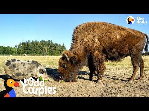 This Blind Buffalo's Bodyguard Is A Loyal Pig | The Dodo Odd Couples