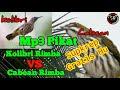 Suara Pikat Burung Cabean Rimba Vs Kolibri Rimba Mix Sg Pulot  Mp3 - Mp4 Download