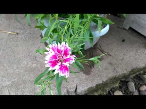 китайская гвоздика из семян