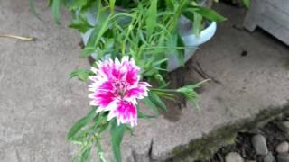 видео Гвоздика китайская. Выращивание из семян и уход