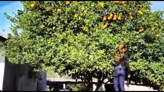 Yane corta naranjas thumbnail