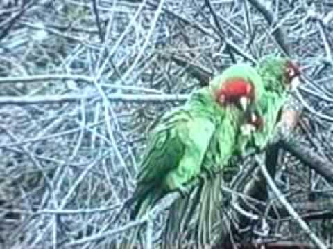 "The Wild Parrots of Telegraph Hill ""Dogen,Connor & Tupelo  """