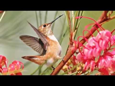 Hummingbirds-  A Short Documentary