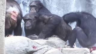 CHIMPANZEES GLENN FAMILY 12082018 AFTERNOON チンパンジー グレン家族...