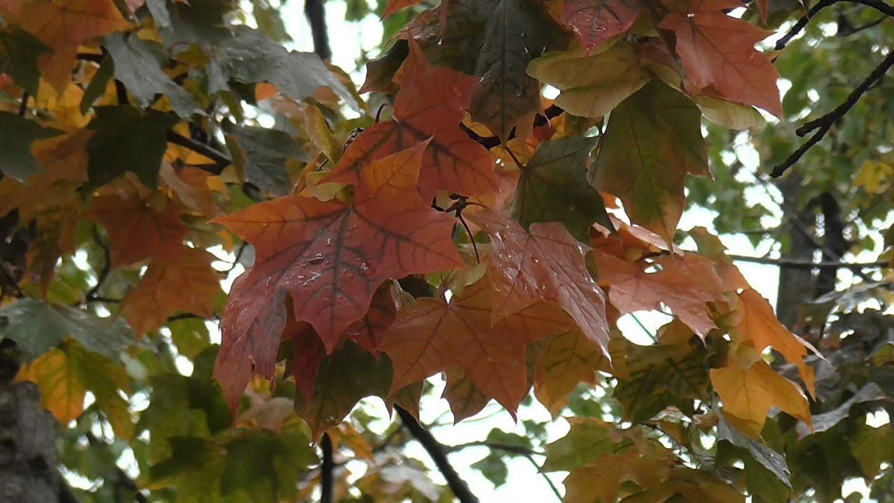 Футажи листья full hd видео