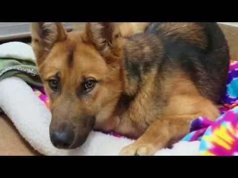 Please Help Save Preston! 2 yr. Scared German Shepherd ASAP!