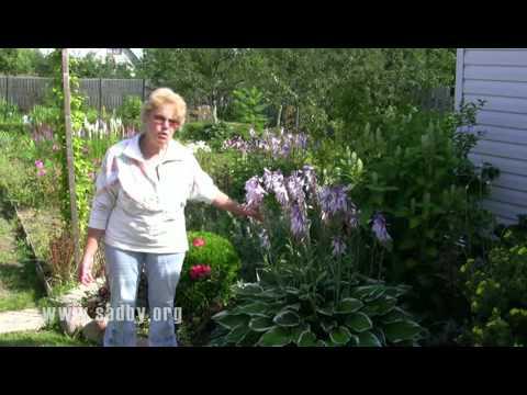 Секреты выращивания хосты: делимся опытом