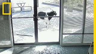 Goat 'Vandalizes' Local Business, Flees the Scene | National Geographic