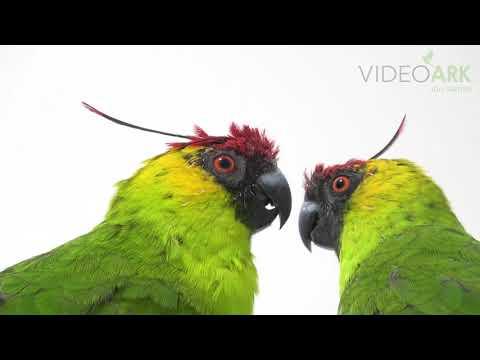 A pair of horned parakeets (Eunymphicus cornutus) at Loro Parque Fundacion.
