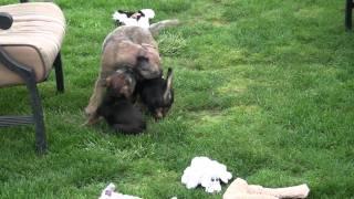 Kilcreggan Border Terrier Puppies - Tweed With Wally And Purple @ 9 Weeks