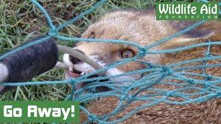 Fiery Fox fights for freedom