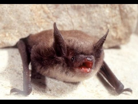 Bat Sounds In My Attic Listen To Brown Bat Vocalization
