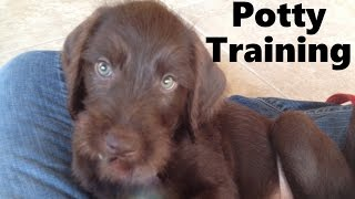 How To Potty Train A Pudelpointer Puppy - Pudelpointer House Training Tips - Pudelpointer Puppies