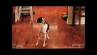 Jingle Bella - Italian Greyhound Puppy Mill Rescue - Romp Italian Greyhound Rescue