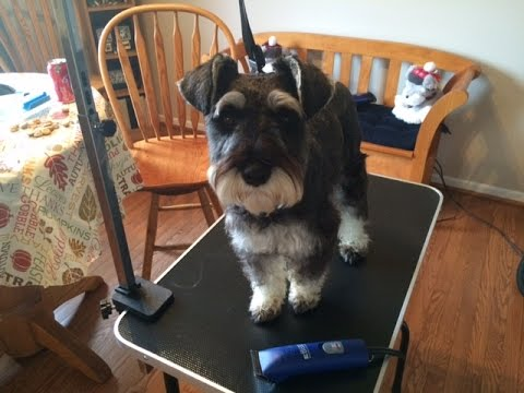Grooming Your Schnauzer Part 1back And Sides Youtube