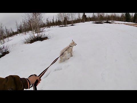 Вопрос: Кто такой волкособ и почему его запретили в Финляндии?