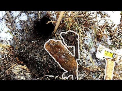 Winter Muskrat Trapping
