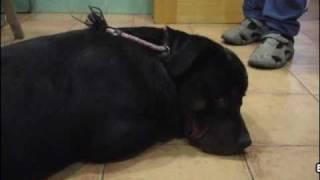 Ingestión de Hachís por un perro