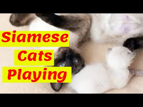 Siamese Cats | Cute Siamese Cats Playing
