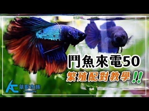 提高99%鬥魚繁殖成功率的秘笈  養魚人森 AC草影水族