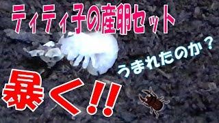 昆虫採集☆カブトムシ☆クワガタムシ うまれてる?ティティ子の産卵セット...