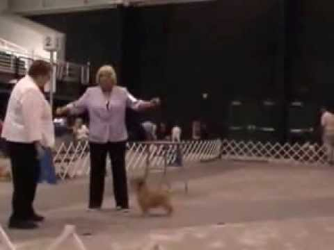 Norfolk Terriers at Arcadia Dog Show