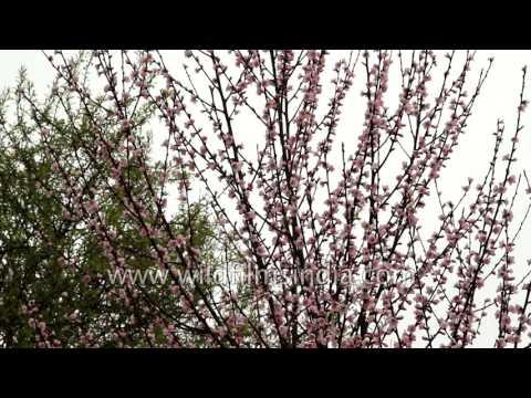 Badamwari in Srinagar, one of the prettiest sights to see in Spring