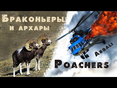 Алтайский горный баран аргали. Ovis Ammon Ammon.