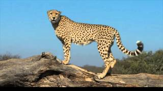 21 Facts About Cheetahs (Did you know Ancient Egyptions used tame cheetahs to hunt?)