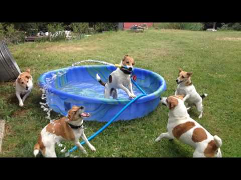 Jack Russell Terriers Play in Kiddie Pool